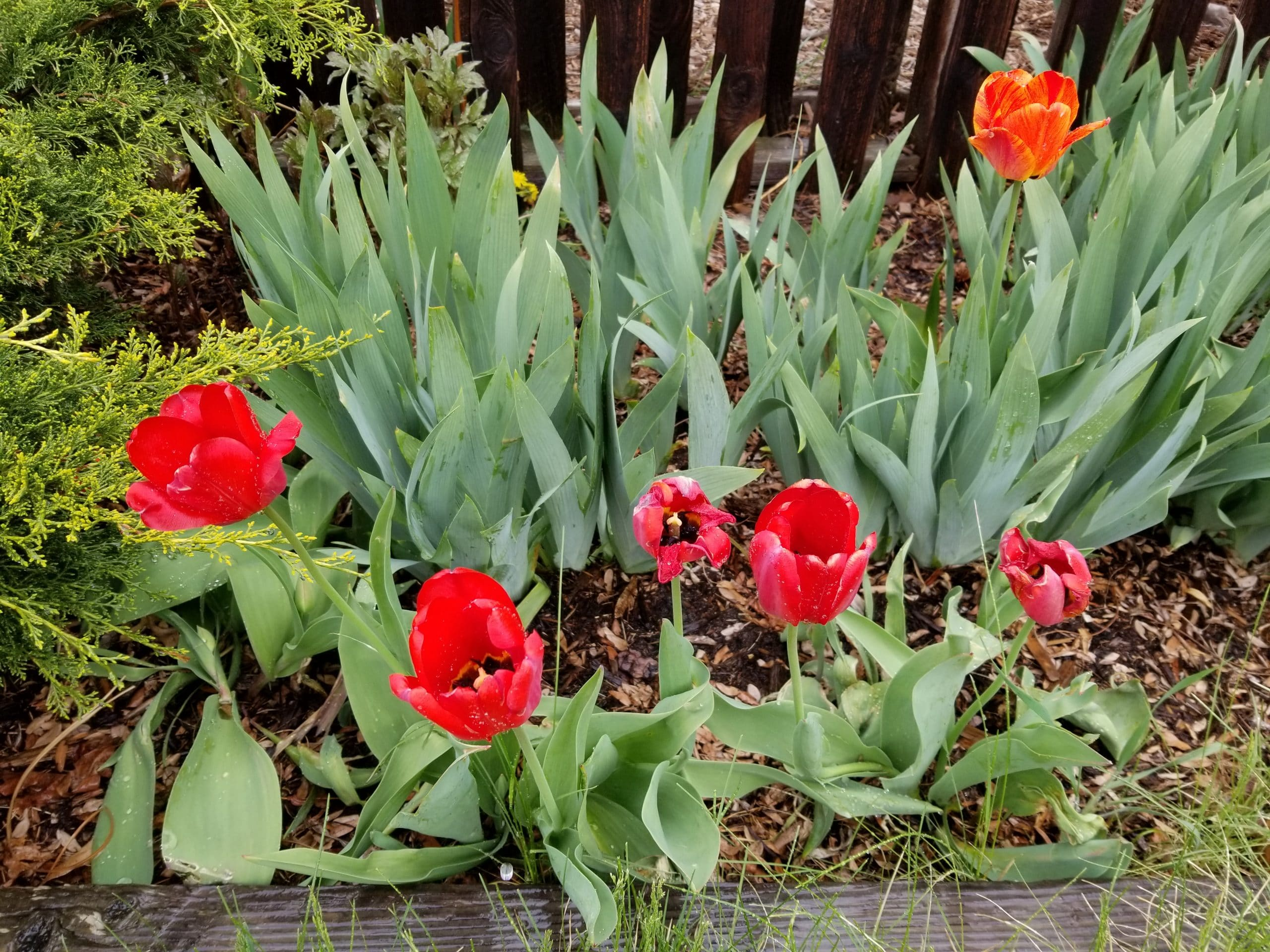 My garden experiment panned out! I now have a wide array of perennials, including these beautiful red tulips, that serve as a reminder that a bit of planning and hard work can really pay off.